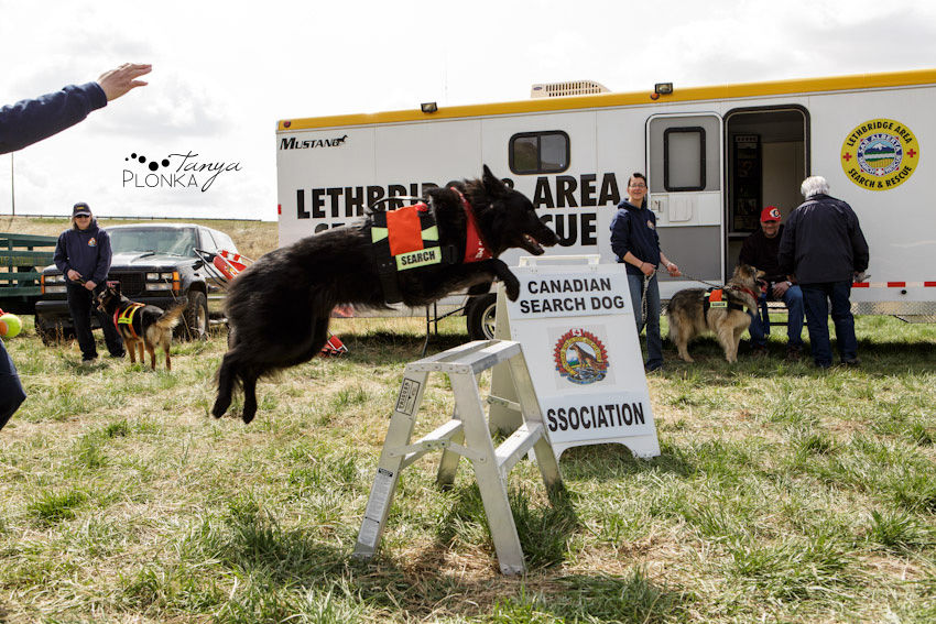 black rescue dog jumping in Lethbridge></p> <p>I had to include a few outtakes too :)</p> <p>Guinness randomly decided he needed that stick.<br /> <img src=