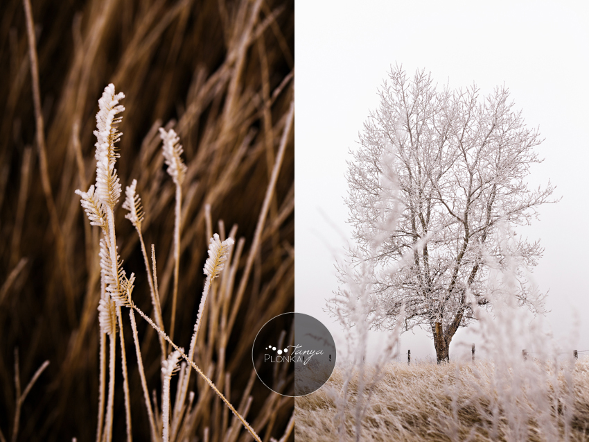 Lethbridge landscape photo wheat with frost and tree with frost