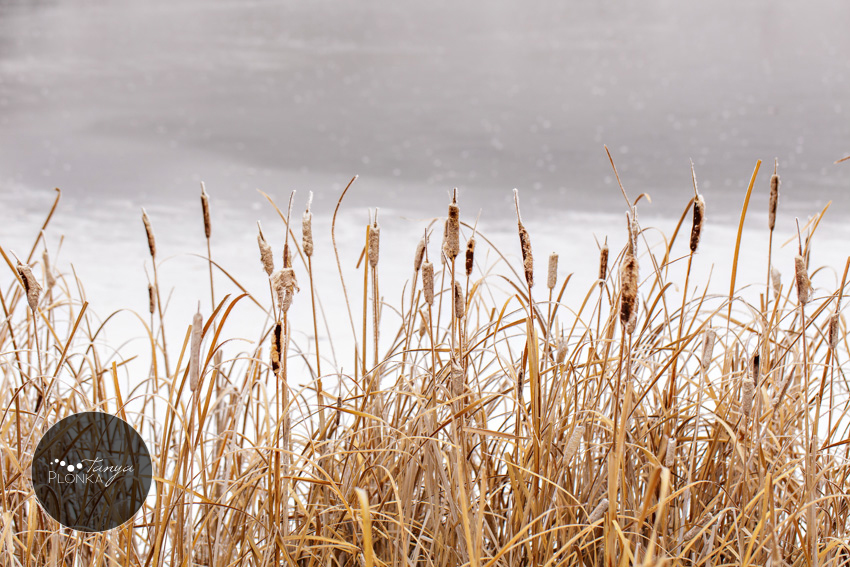 Lethbridge landscape photo marsh reeds in the snow
