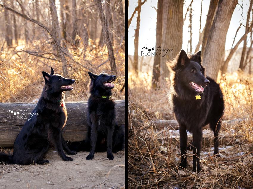 Photo of black dogs in Lethbridge