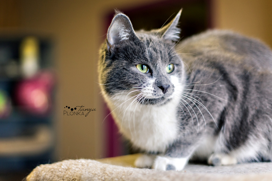 Cat available for adoption in Lethbridge, Alberta at the Last Chance Cat Ranch