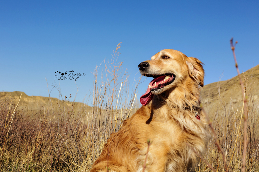 Golden retriever and black dog in Lethbridge, pet photography