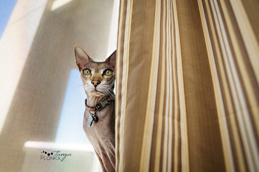 Hairless cat, pet photography