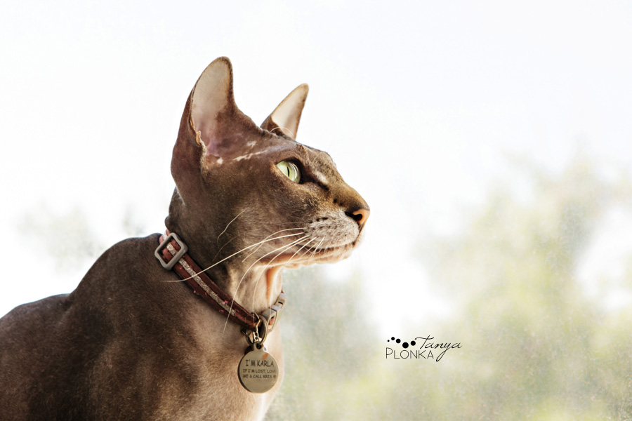 Hairless cat, pet photography