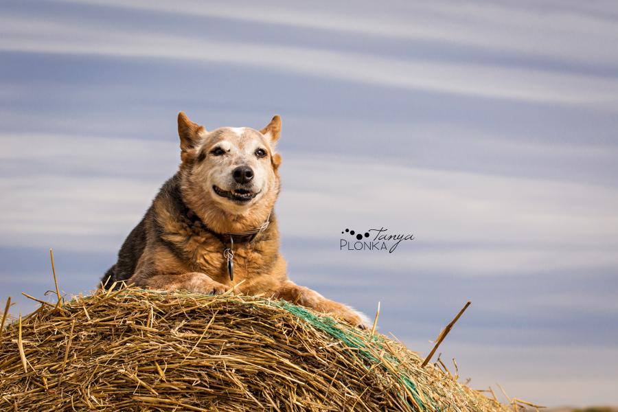 Beaver Mines dog sitting on hay bale