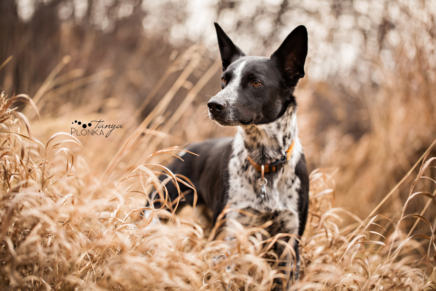 Lethbridge dog standing in coulee grass