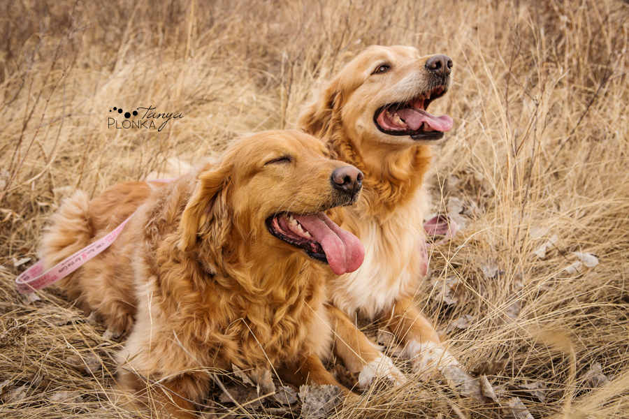 Lethbridge golden retrievers in River Bottom