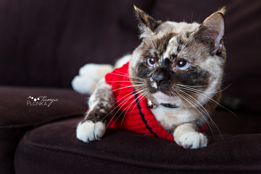 Lethbridge cat in Christmas sweater