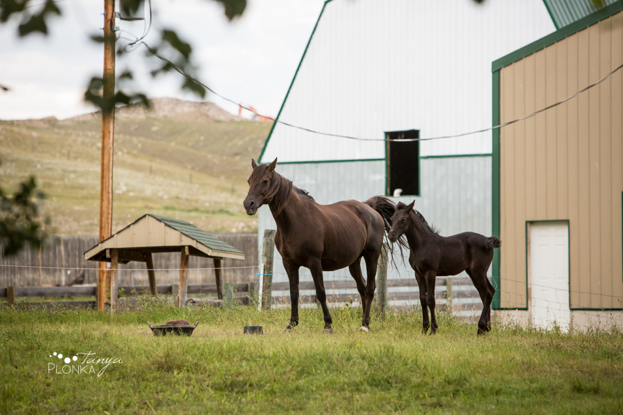 Southern Alberta farm animal photos equestrian photography