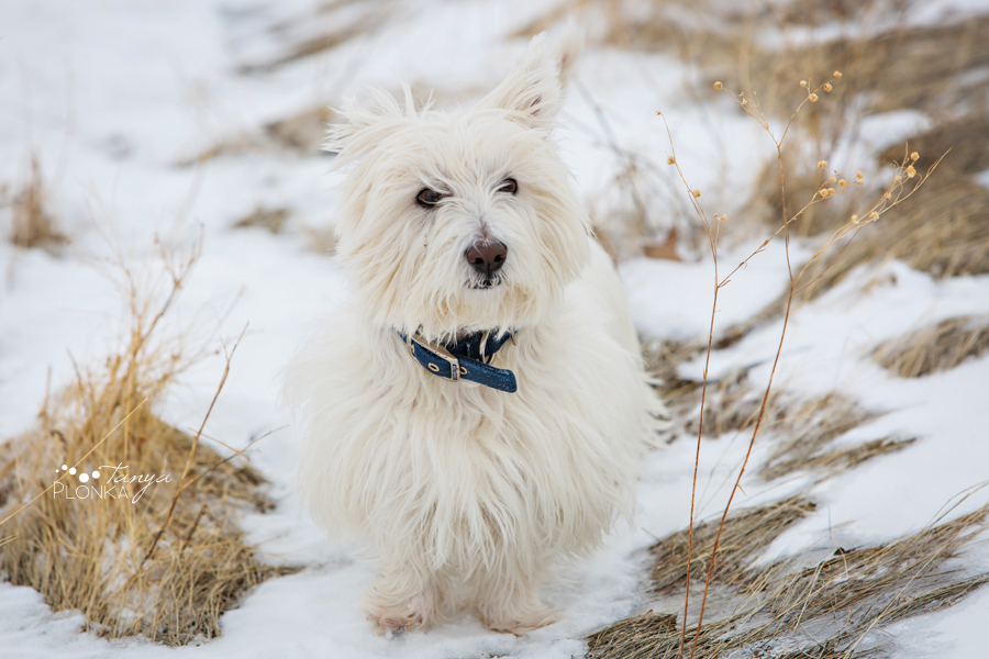Lethbridge winter pet dog session
