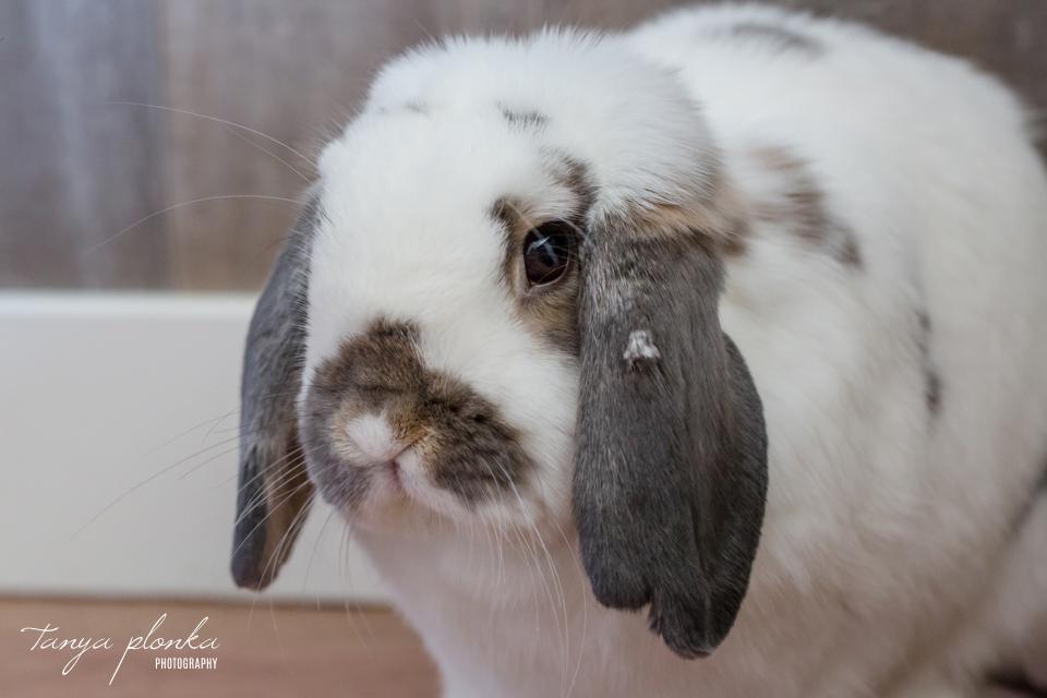 Lethbridge pet rabbit photos
