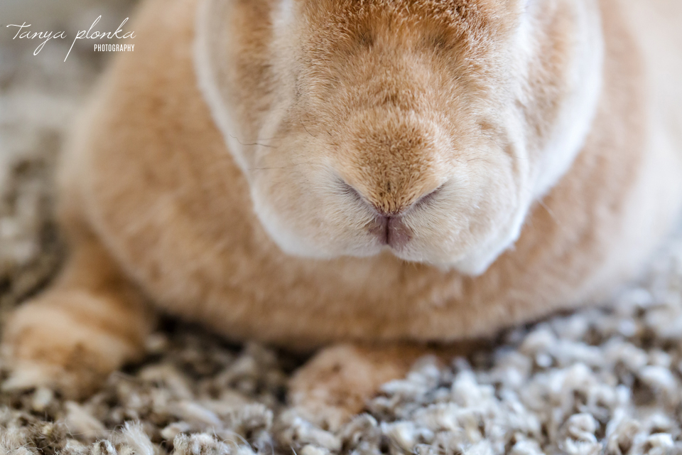 Lethbridge pet rabbit photography session