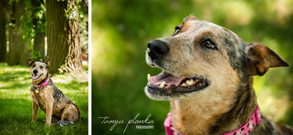 Alberta cattle dog rescue photos