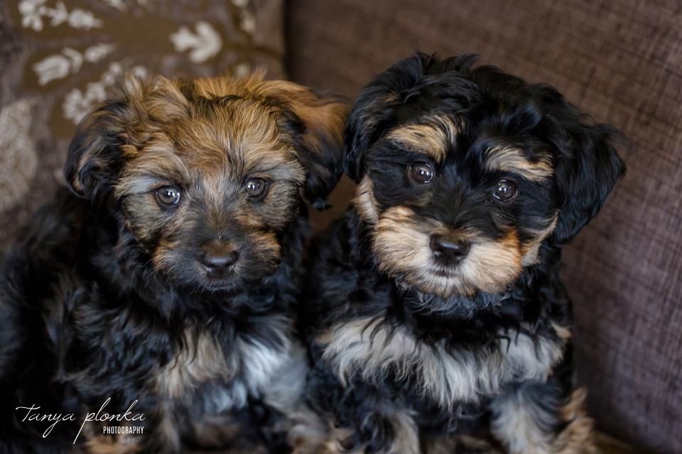 Lethbridge double puppy portrait session