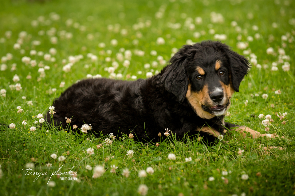 Lethbridge Burnese Mountain Dog Puppy Photos