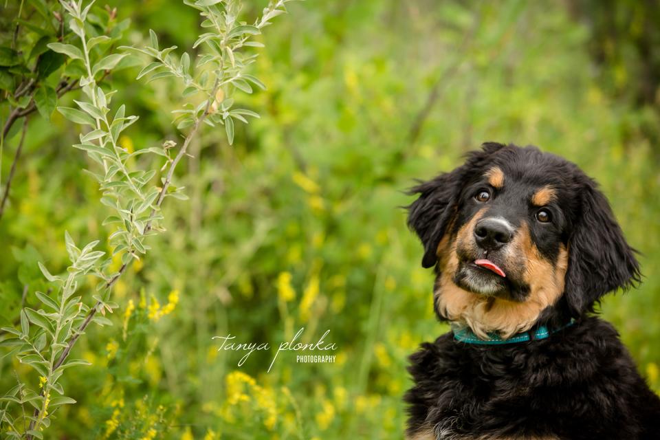 Lethbridge Burnese Mountain Dog Puppy Photos