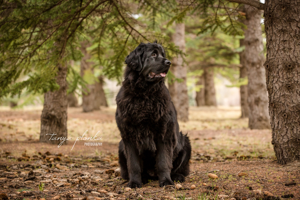Newfoundland dog flower crown photo session