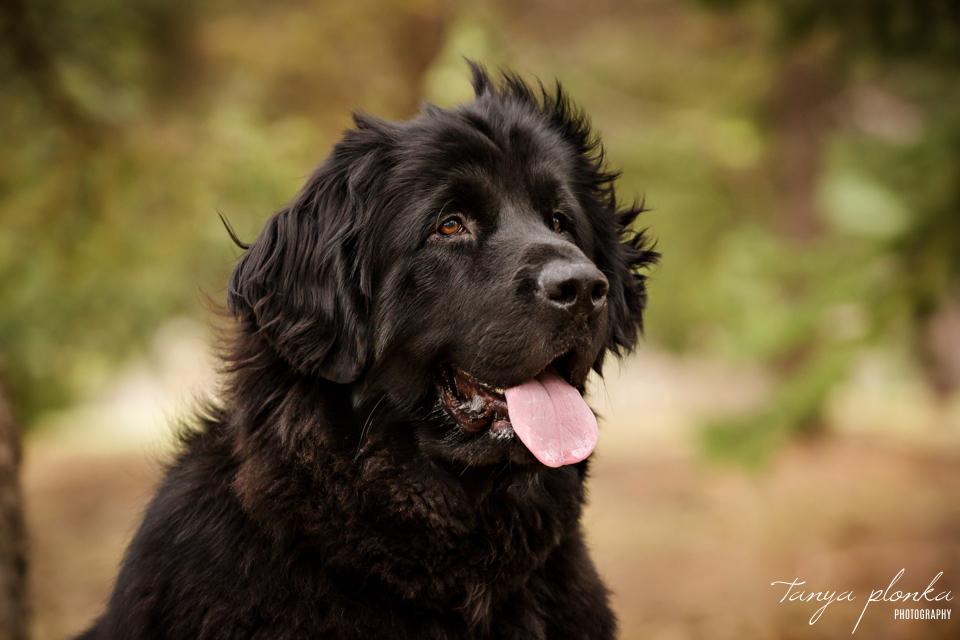 Newfoundland dog Lethbridge pet photos