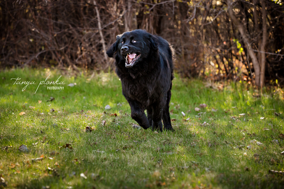 Lethbridge action dog photography