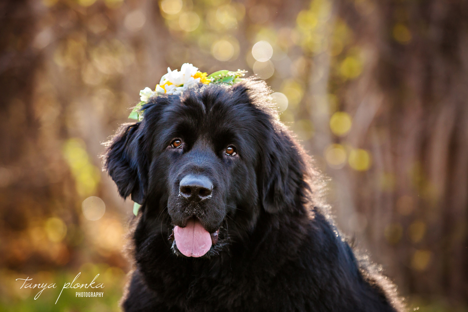 Newfoundland dog flower crown photo session