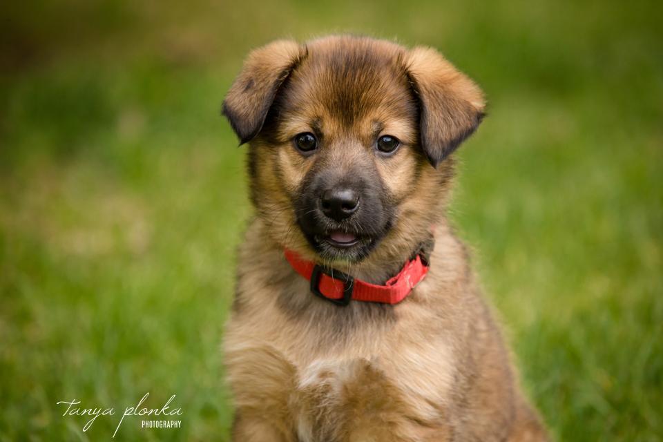 AARCS rescue puppy for adoption in Lethbridge