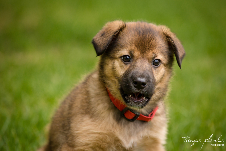 AARCS rescue puppy for adoption in Lethbridge