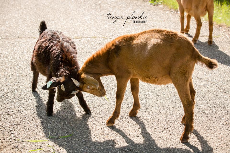 Lethbridge goat photos