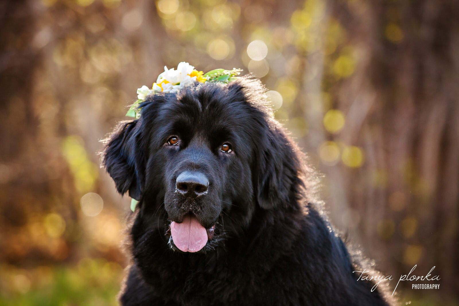 black dog in flower crown looks at camera