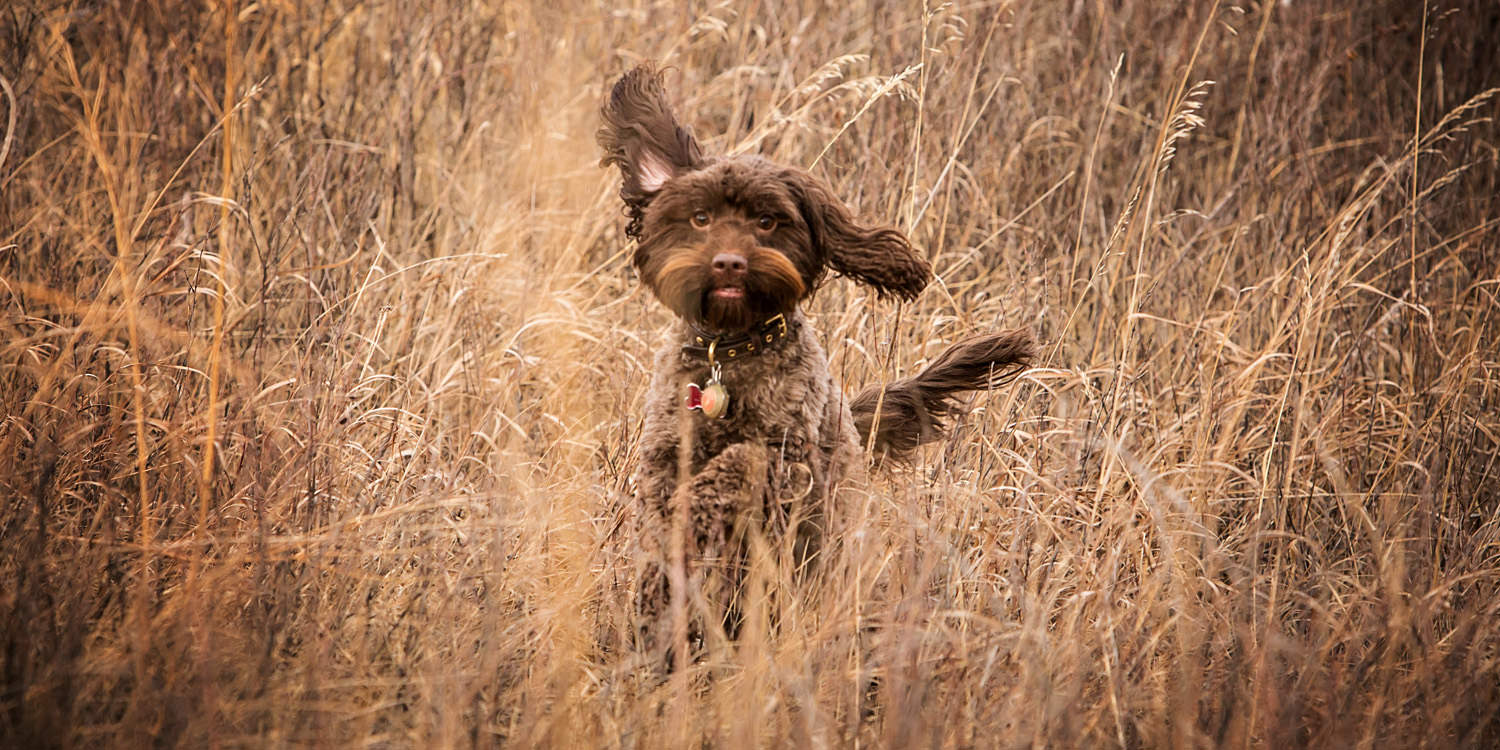 small brown dog running through long brown grass