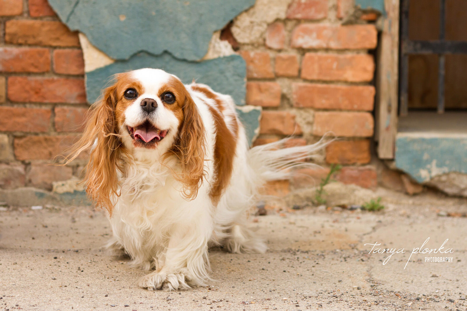 smiling Cavalier King Charles Spaniel stands in front of brick wall in downtown Lethbridge