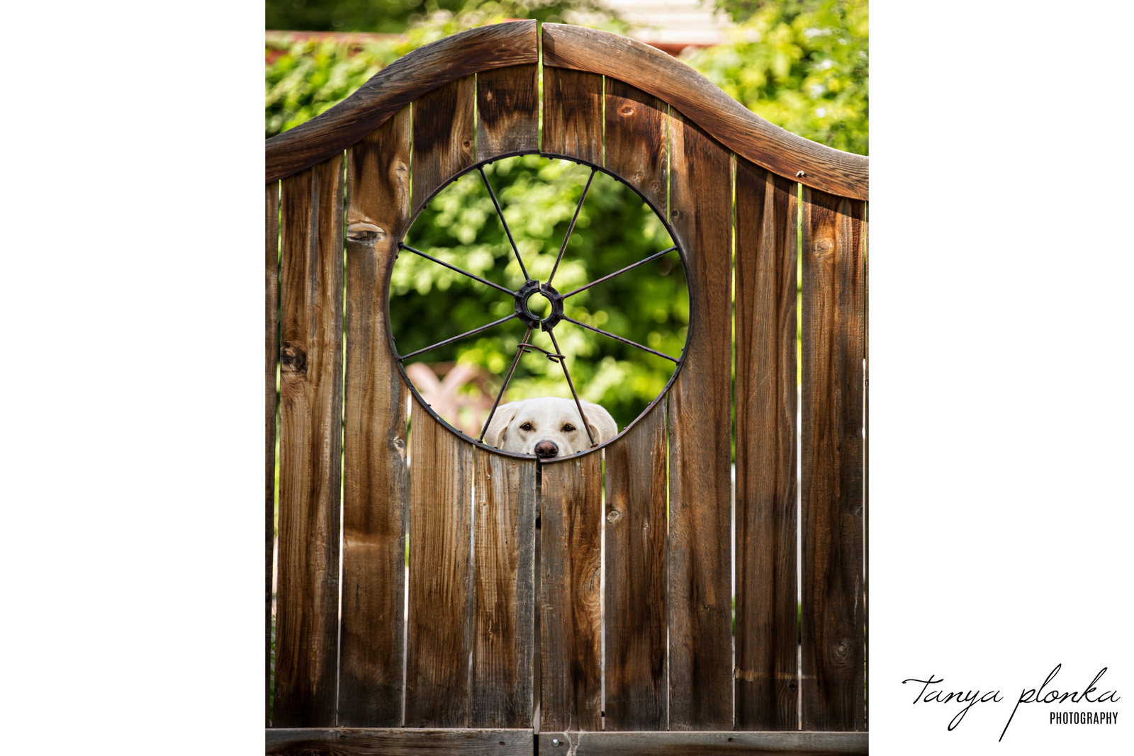 Cute dog looking through circular opening in wooden gate