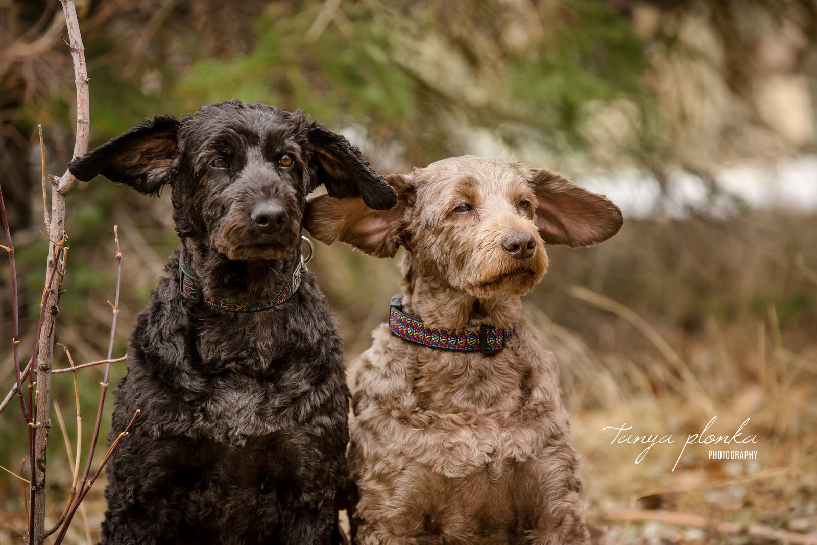 two dogs sit side by side while ears blow out in the wind