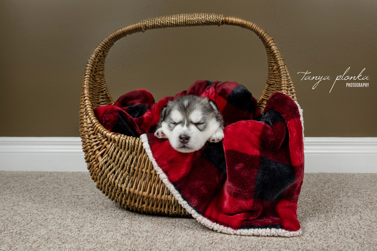 Husky Puppy Sleeping in Basket with Red Blanket