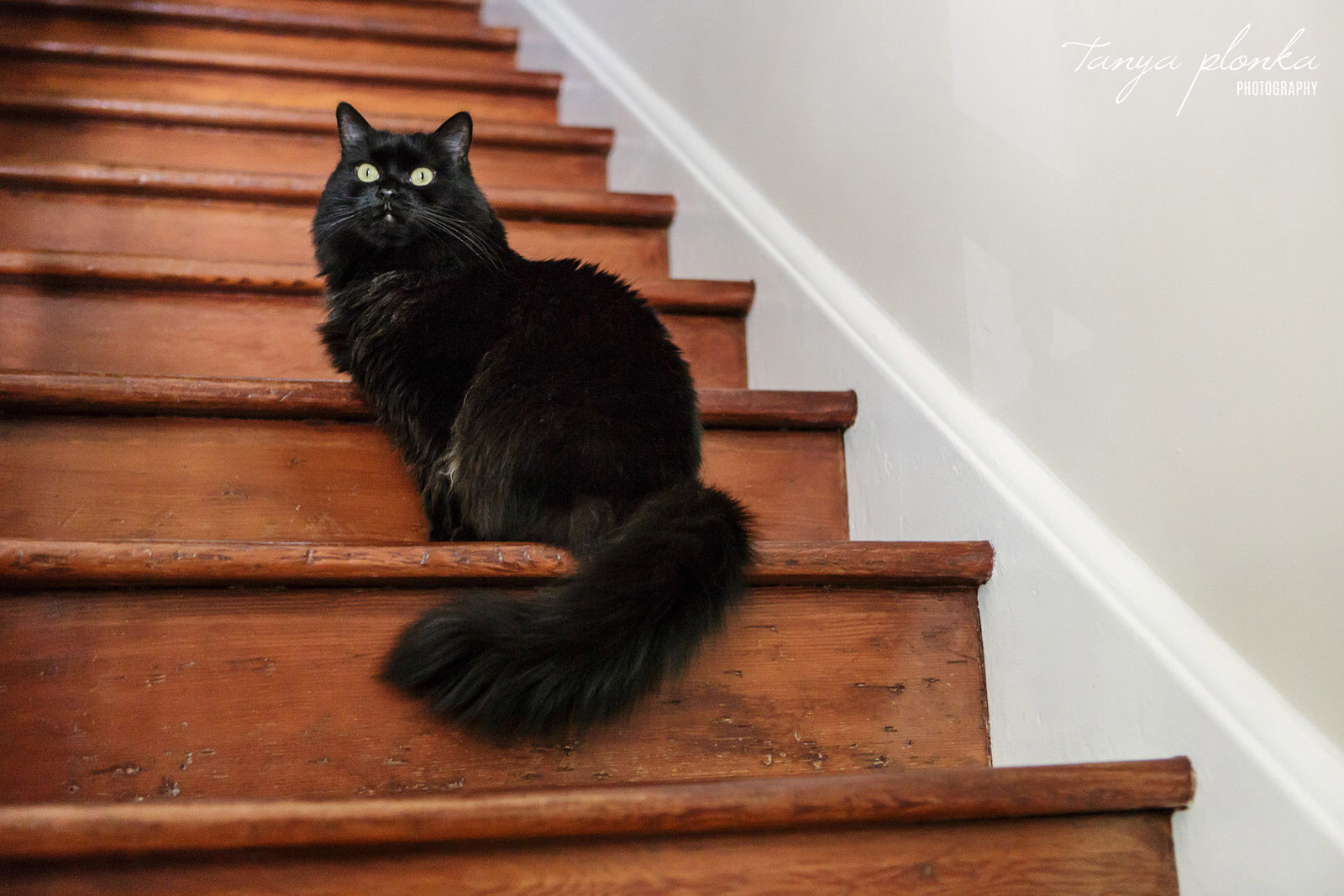 Fluffy black cat sits on wood staircase