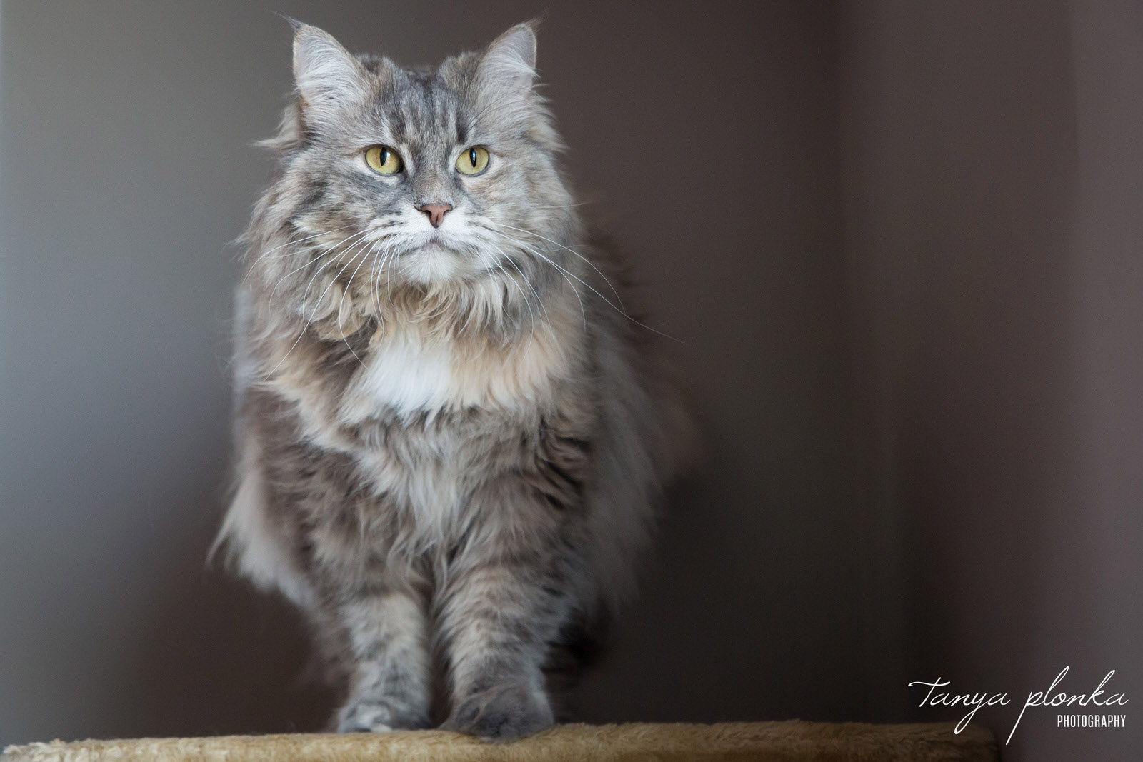 indoor portrait of a medium haired gray cat