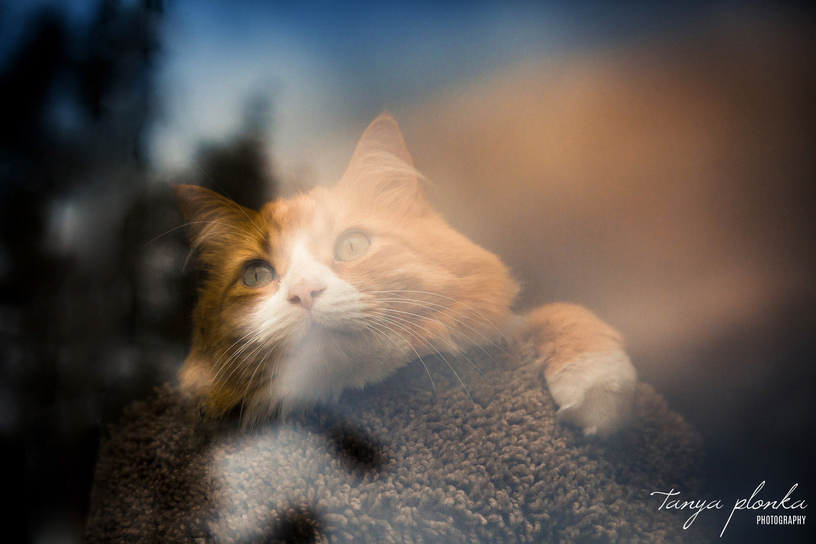 photo taken through window with blue and orange reflection of orange cat dreamily staring out