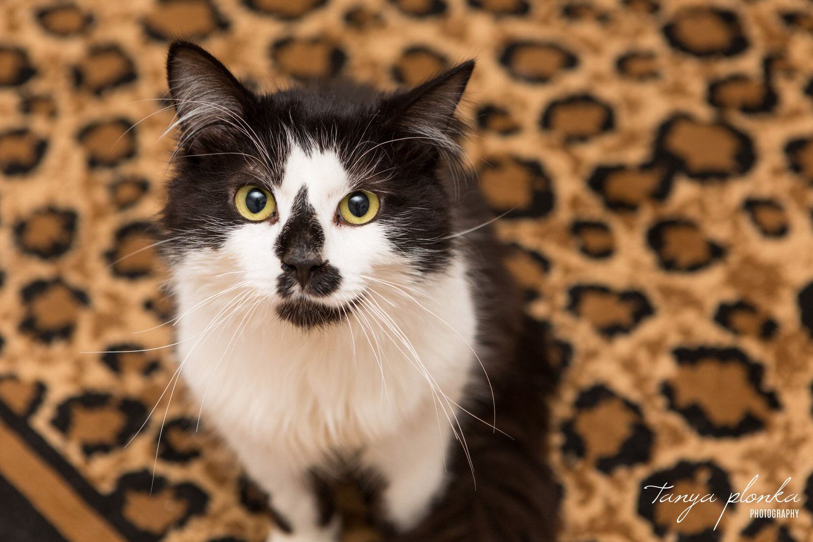 black and white cat looks up at camera while sitting on leopard print rug