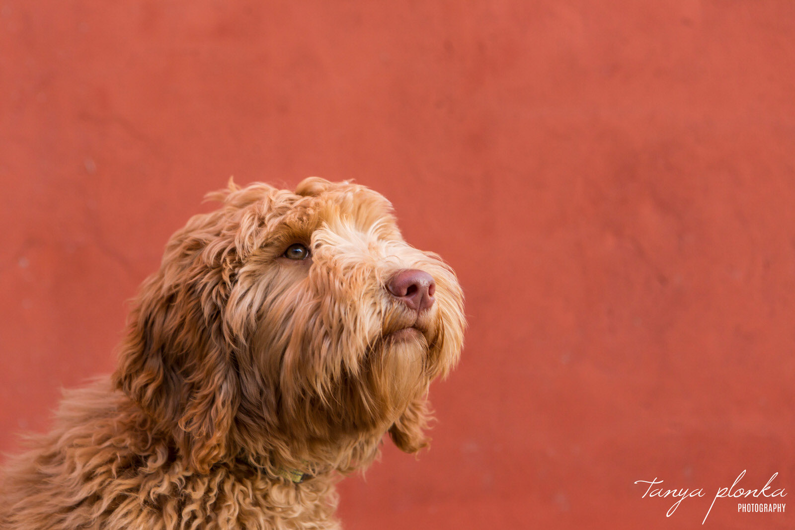 close up photo of Labradoodle dog in front of orange wall