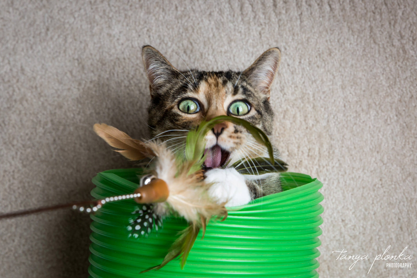 tabby cat with head sticking out of green tunnel attacks feather toy