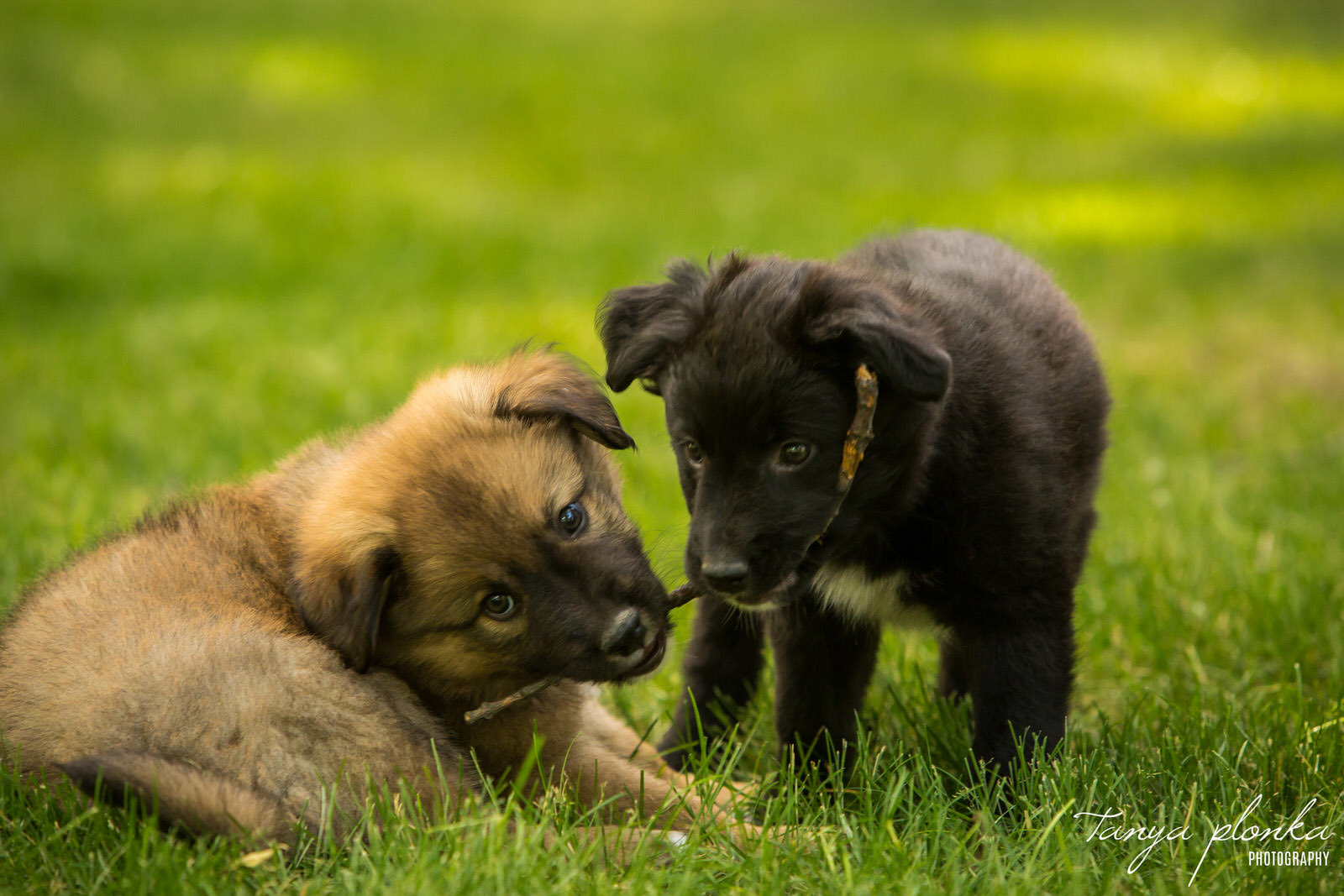 a brown puppy and a black puppy play tug of war with a stick on a green lawn