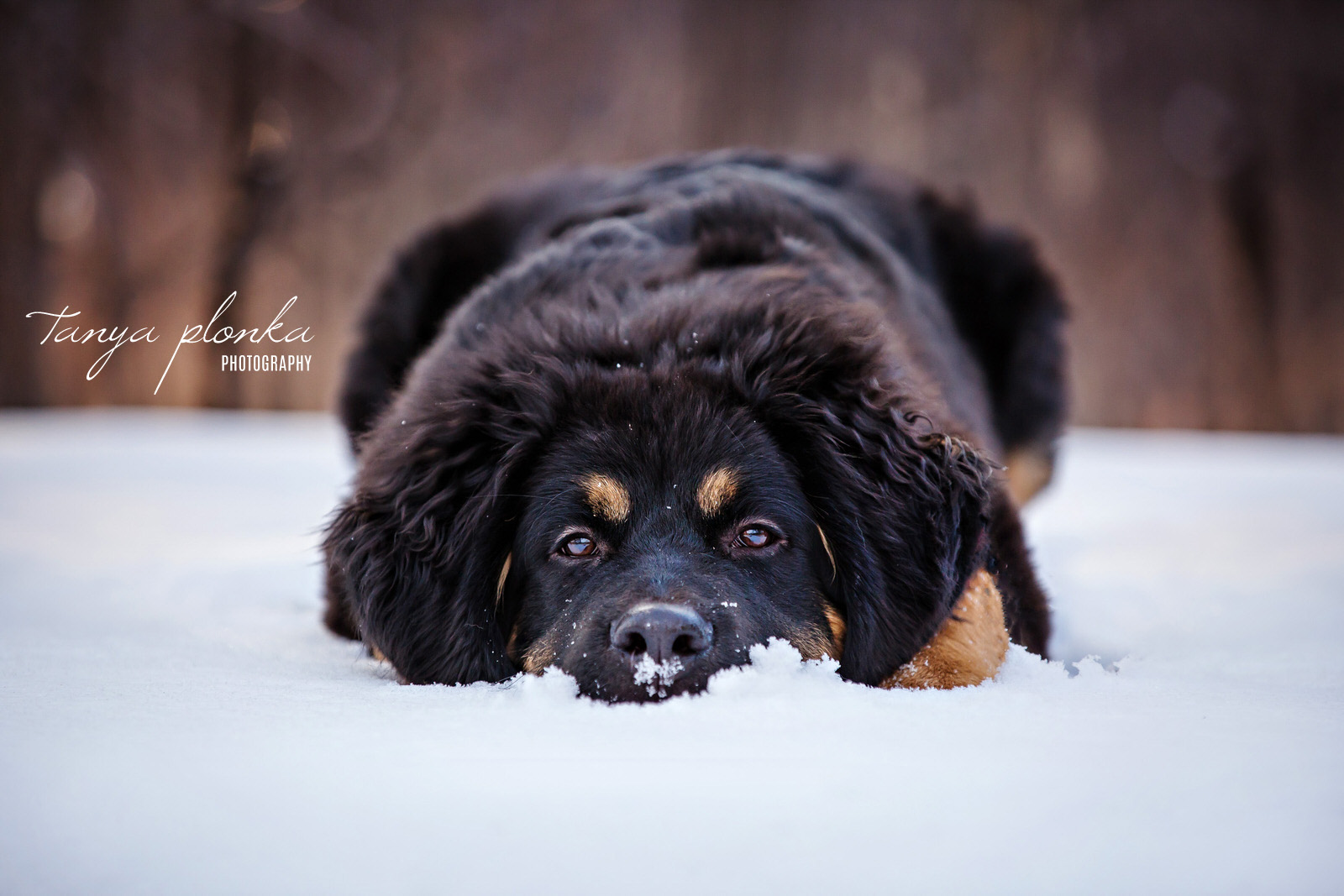 Puppy laying in snowbank with snow on nose