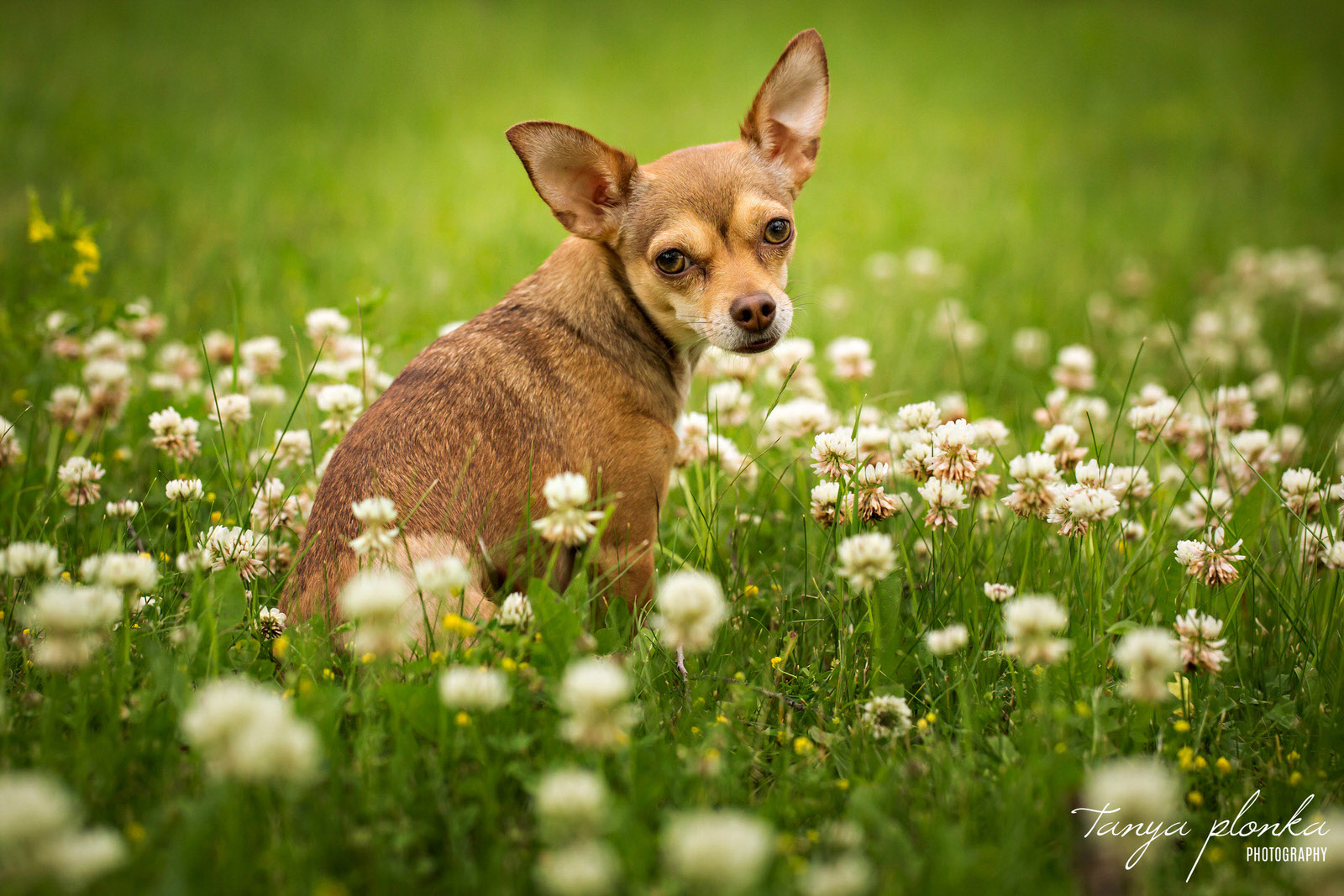 chihuahua sits in field of white clovers in west Lethbridge