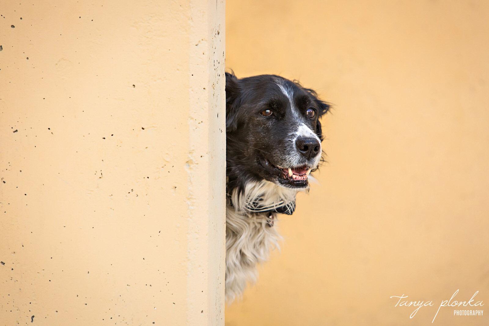 black and white dog peeks around yellow wall