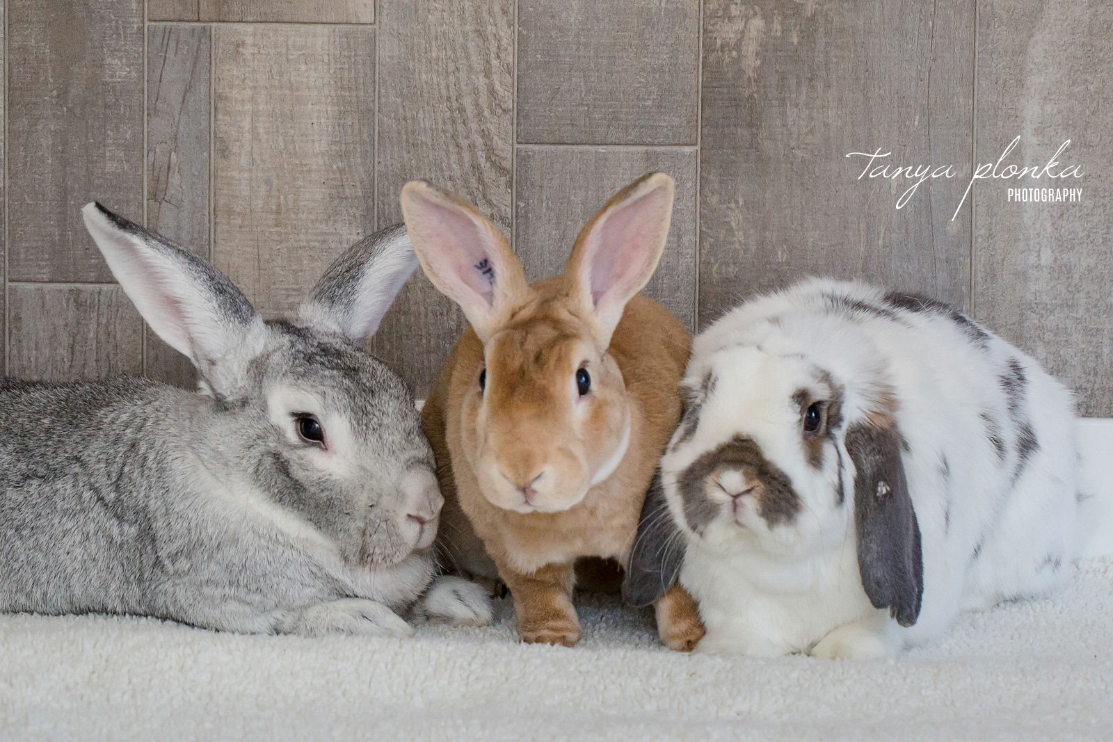 Three bunnies sitting in a row, gray bunny, tan bunny, spotted floppy ear bunny